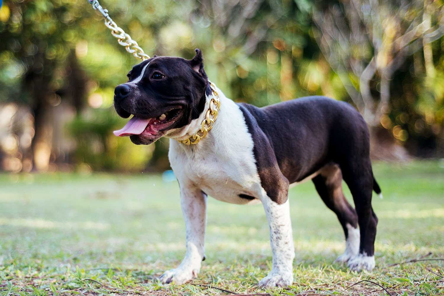 Female American Bully Thailand - Kha