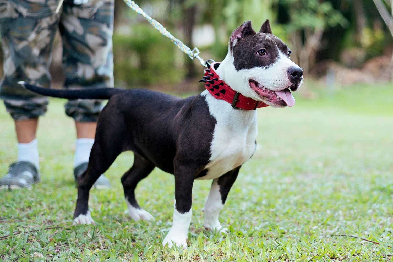 Female American Bully Thailand - Panda