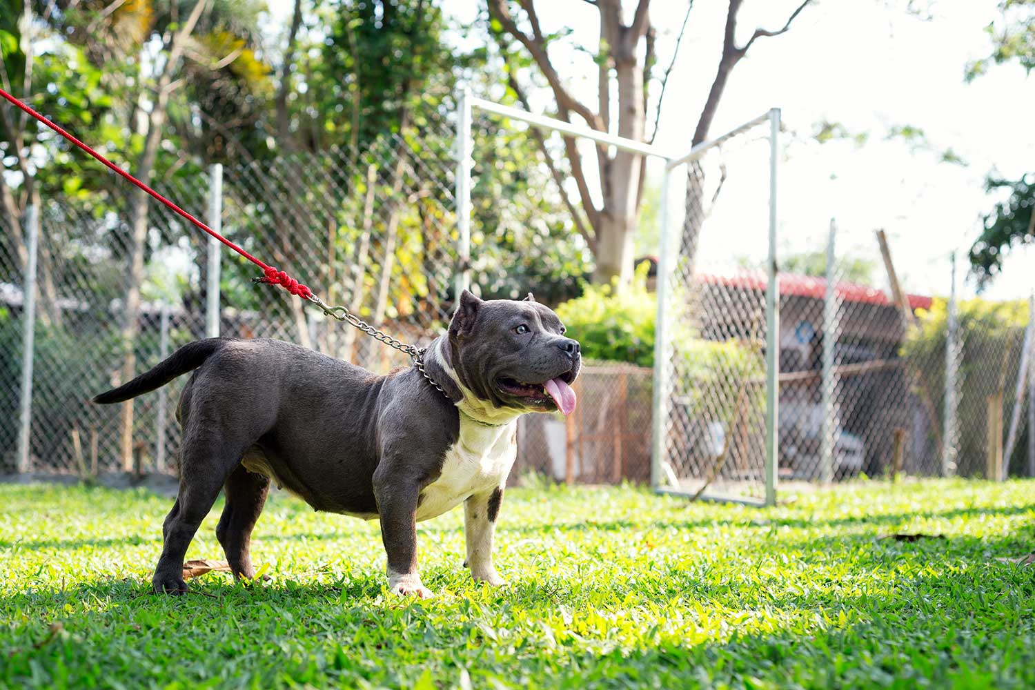 Expertasia Chiang Mai American Bully Kennels