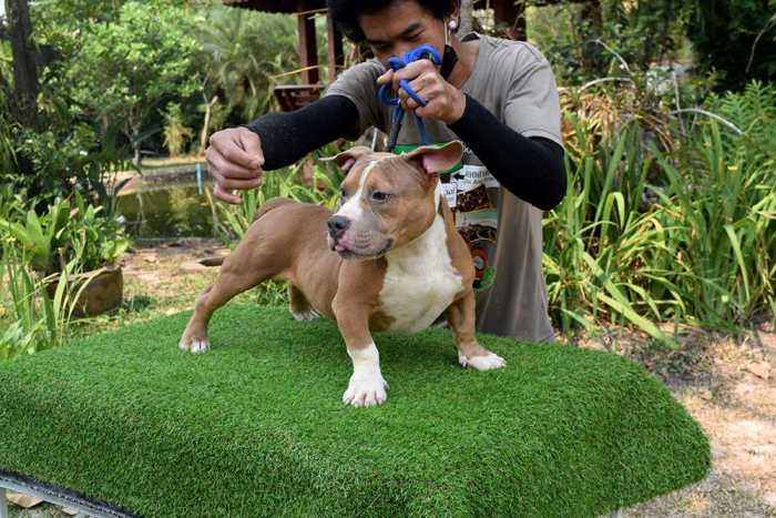 Male mini bully puppy for sale - From Nightmare & Khanunnightmare-khanun-male-1-1e