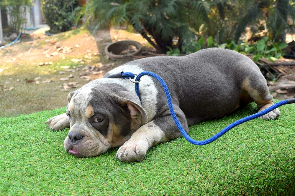 Male mini bully puppy for sale - From Nightmare & Khanun