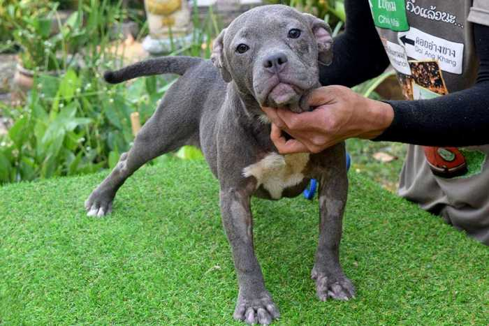 ROONEY & KHING - Female Bully Puppy for Sale 1