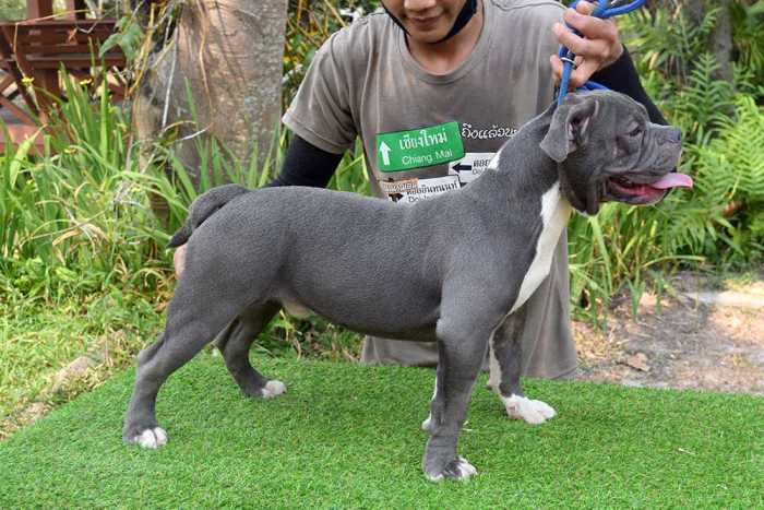 ROONEY & KHING - Male Bully Puppy for Sale