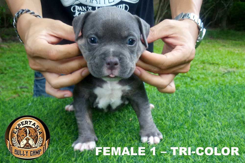 Female American Bully puppy for sale - Hipster & Yaya