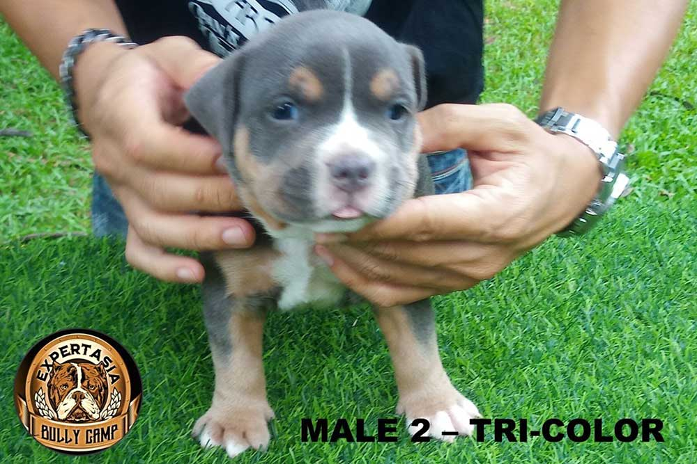 Male puppy for sale by HIPSTER & YAYA