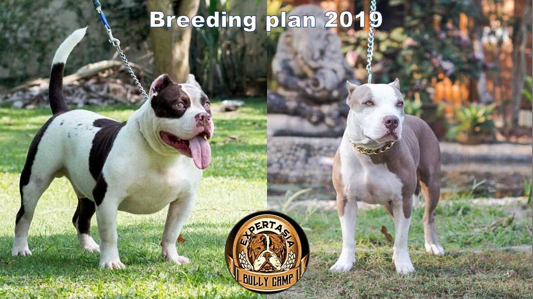 Goliath Pit Shiva & Expertasia Bully Panigale American Bullies breeding program Chiang Mai