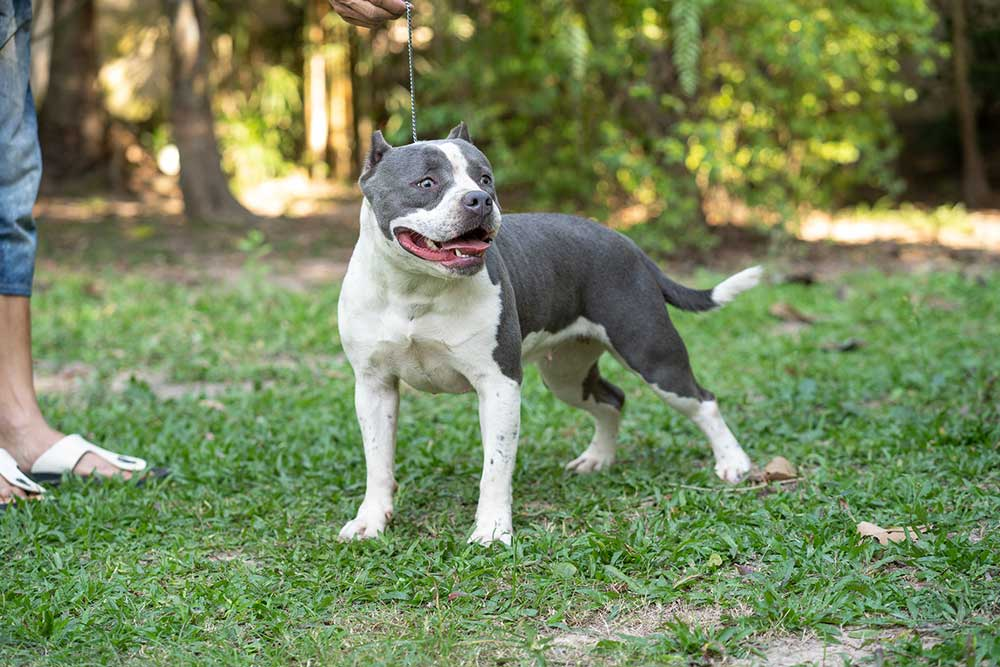 Blueberry - female bully - Expertasia Bullies