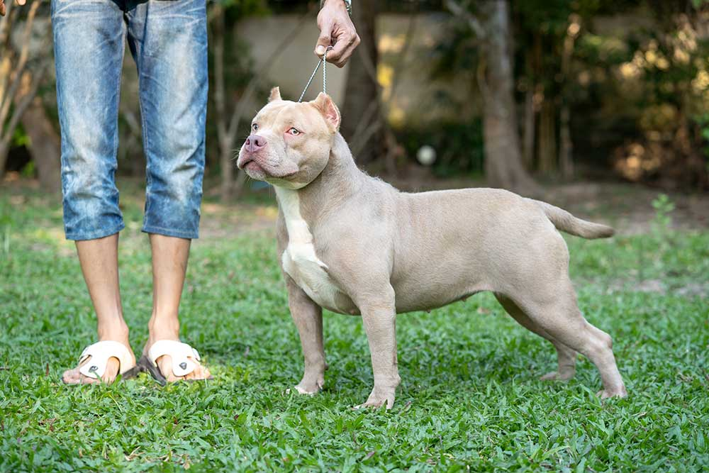 Champagne by Expertasia Bullies