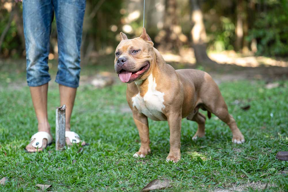 Musceltone Red Devil at Expertasia Bullies