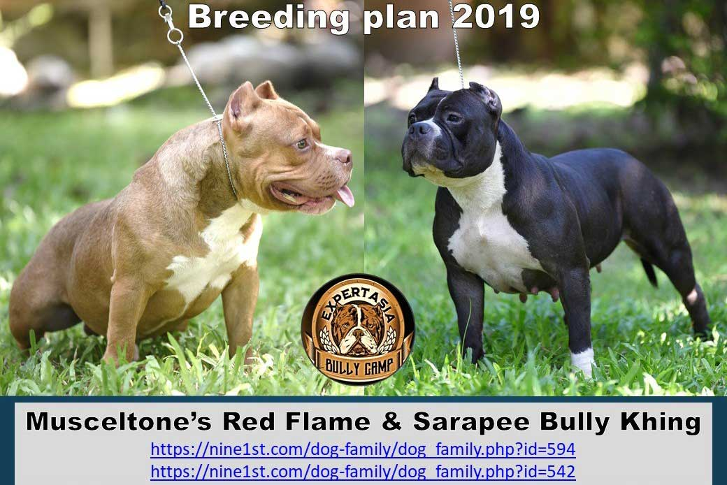 Muscletone's Red Flame & Sarapee Bully Khing
