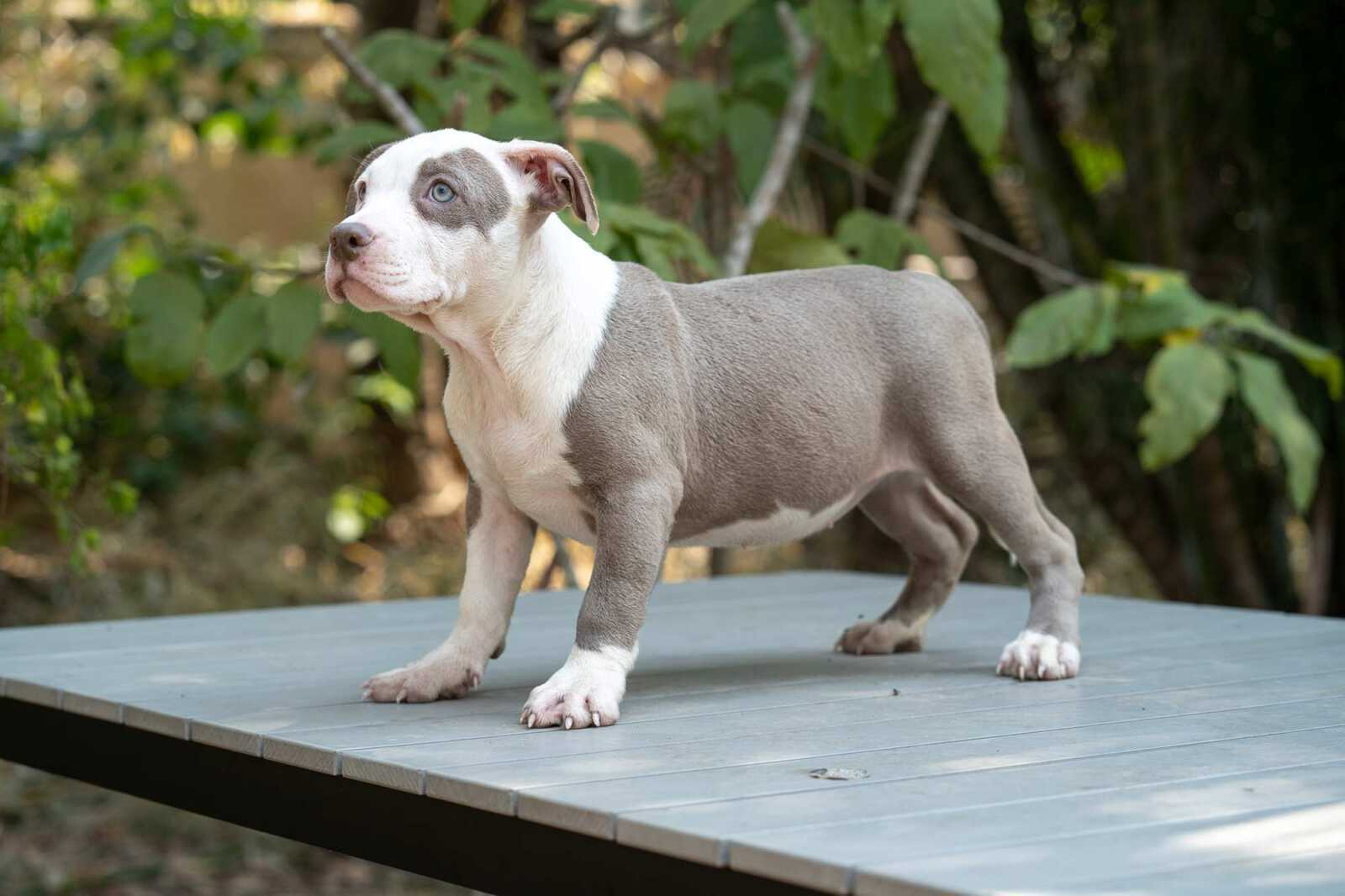 Lilac and white female bully puppy for sale Thailand