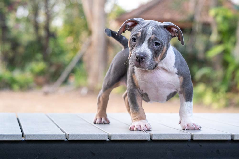 HIPSTER & MALI - Female Bully Puppy for Sale 4