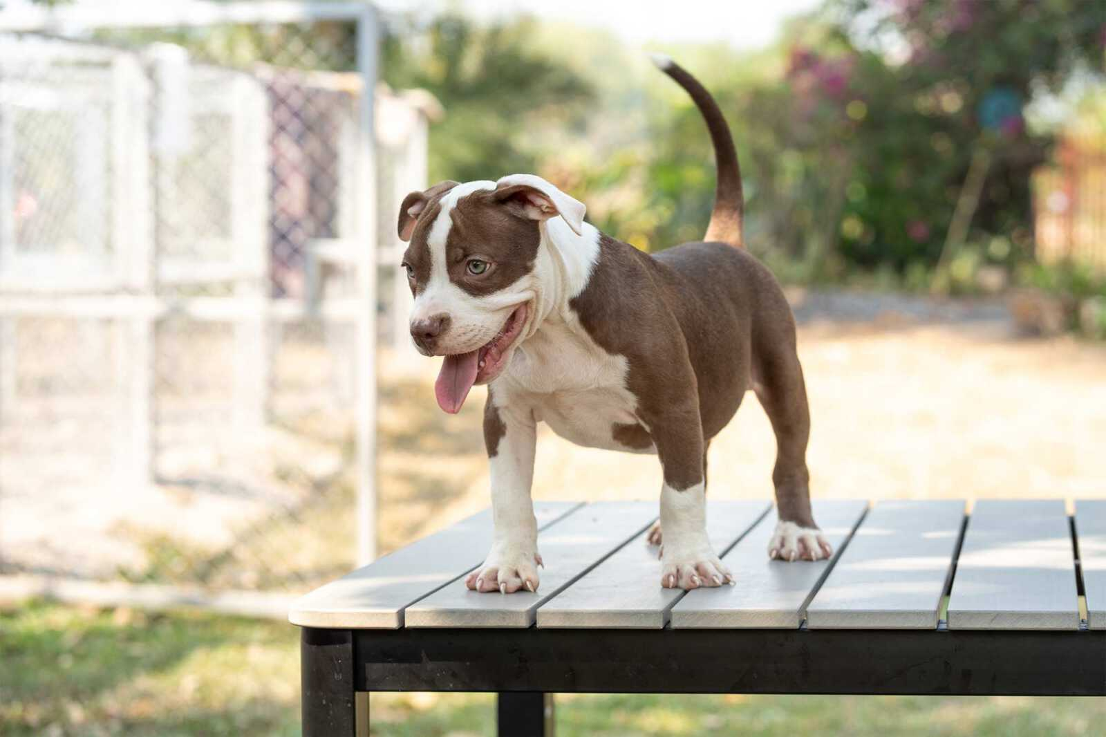 Shiva and Panigale male bully puppy for sale