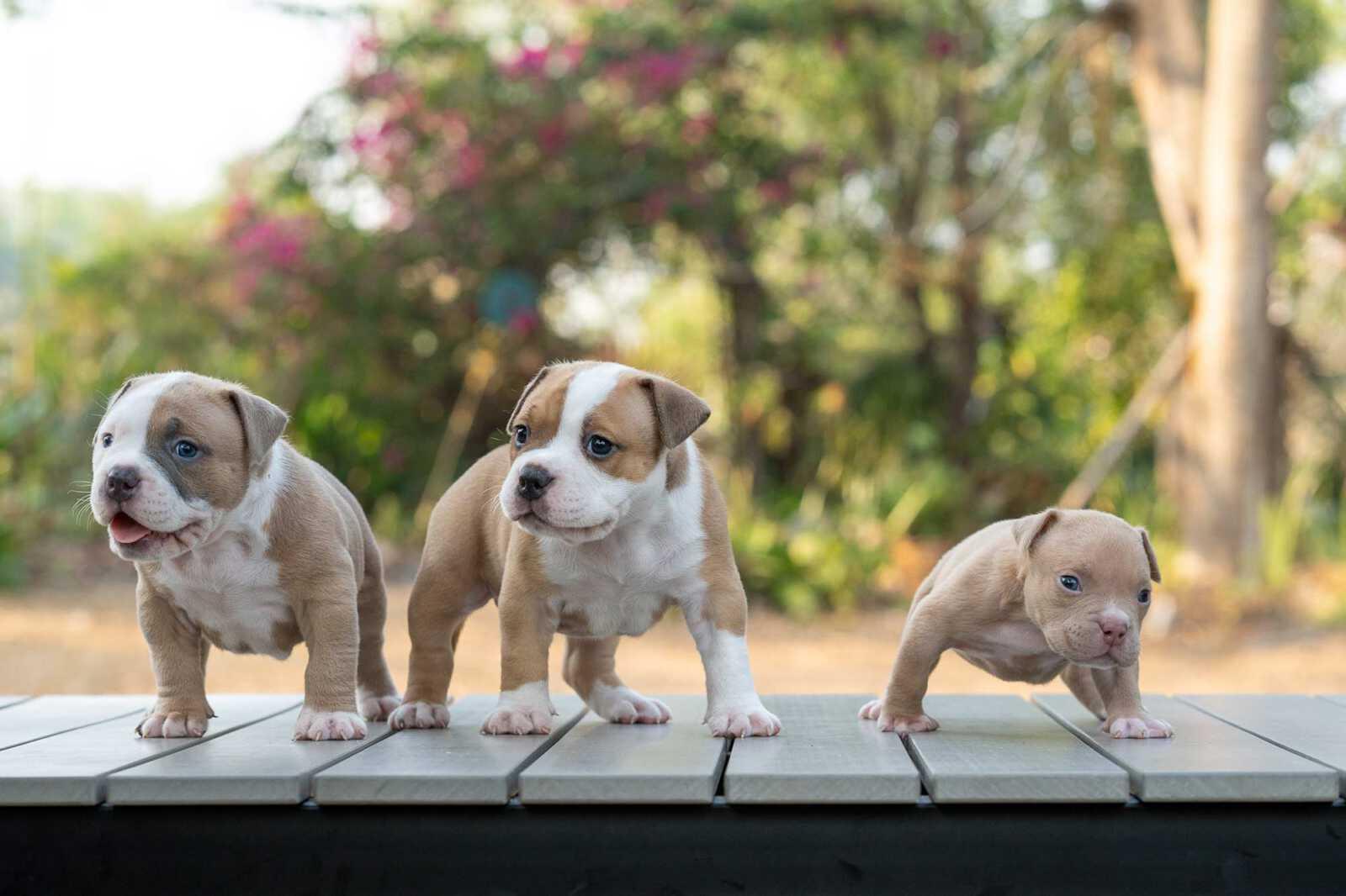 Bully Dogs stud service