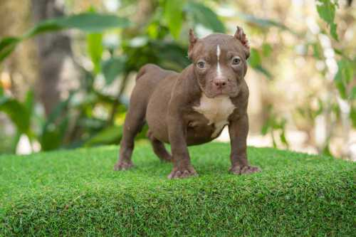 Female pocket bully for sale Chiang Mai, Thailand by Shiva & nadia 2