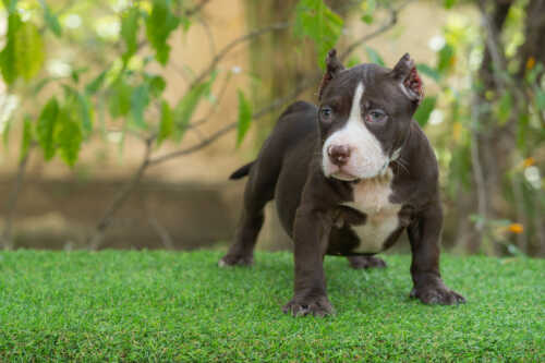 Shiva - Nadia male bully puppy for sale 2