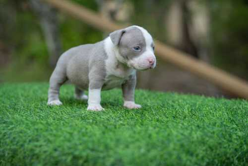 Female Lilac & White pocket bully for sale Chiang Mai, Thailand by Shiva & nadia 3