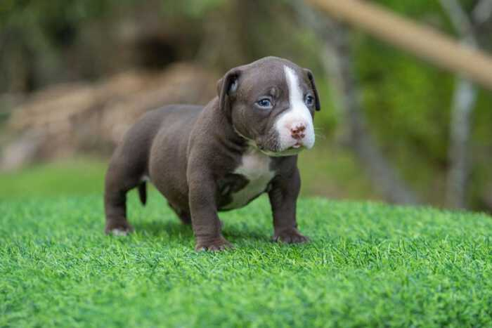 Male pocket bully for sale Chiang Mai, Thailand by Shiva & nadia 3