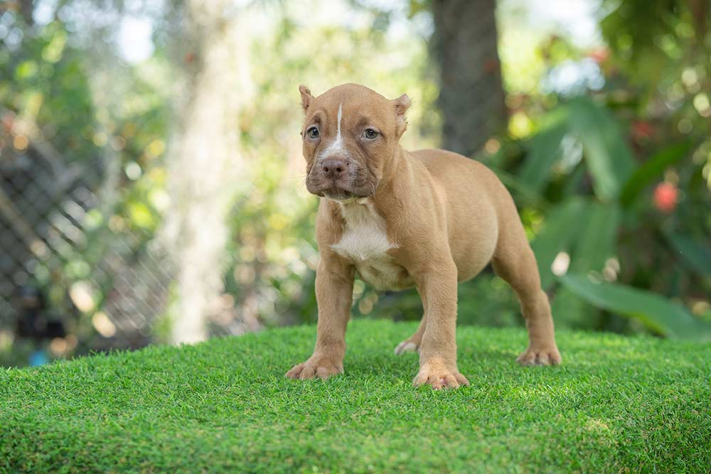 Fawn female standard bully puppy for sale Chiang Mai 2