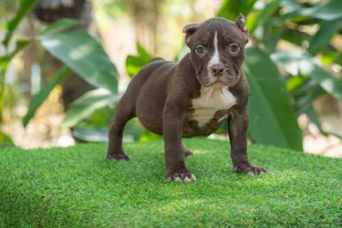 Chocolate & White female standard bully puppy for sale Chiang Mai