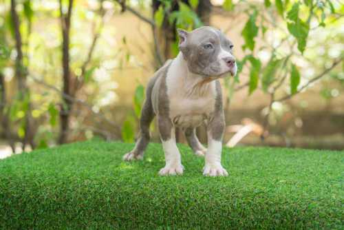 Lilac & White female standard bully puppy for sale Chiang Mai