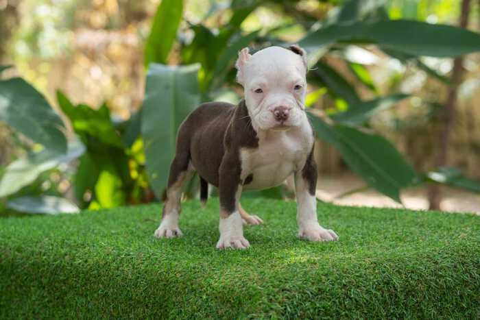 Chocolate & Tricolor male standard bully puppy for sale Chiang Mai