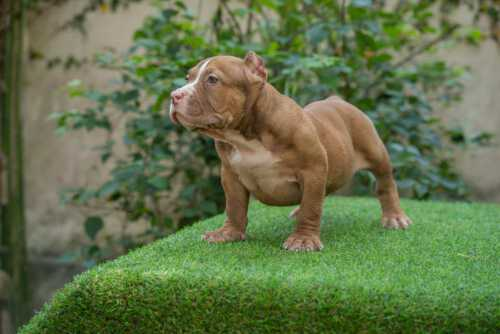 Lilac & White male standard bully puppy for sale Chiang Mai