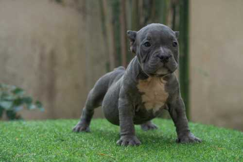 Male exotic bully puppy for sale