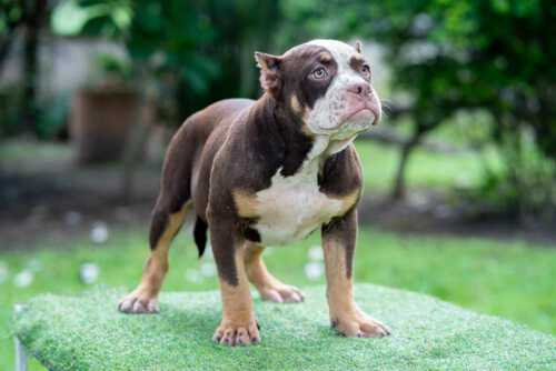 Female standard bully puppy for sale Chiang Mai