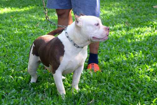 Boogeyman - Candy - male pocket bully for sale