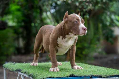 Boogeyman - Candy - male pocket bully for sale 2