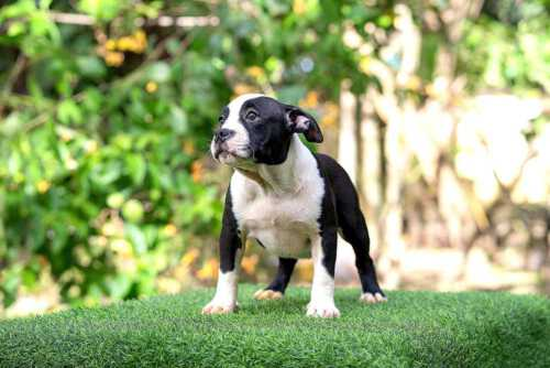 Female pocket bully puppy for sale Chiang Mai - Thym and Kha