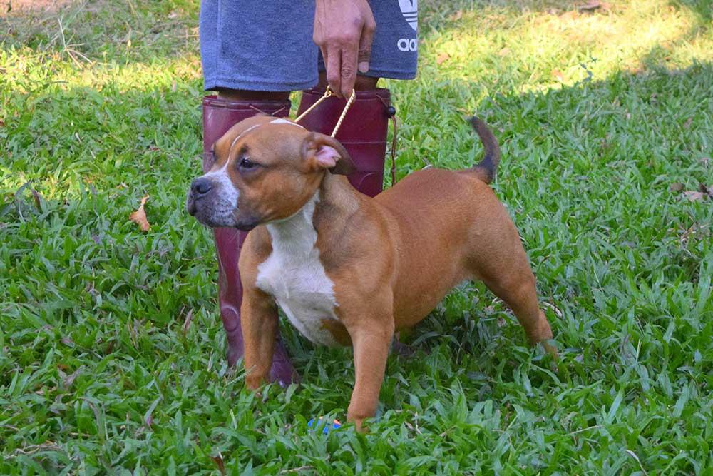 Minolta - Fawn female standard American Bully puppy for sale
