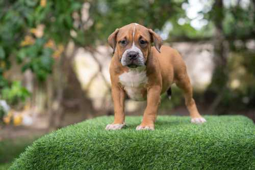 Minolta - Fawn female standard American Bully puppy for sale