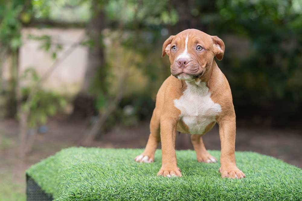 Fawn male bully pocket for sale
