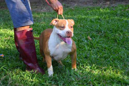 Fawn male bully standard for sale