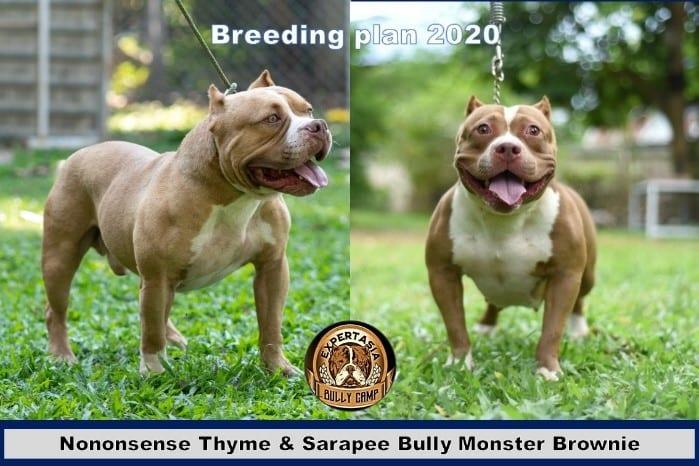Breeding program - Expertasia Bullies - Thym and Brownie