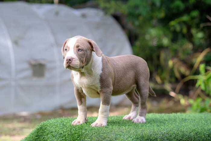 Female standard bully puppy for sale Chiang Mai - Thym and Kha