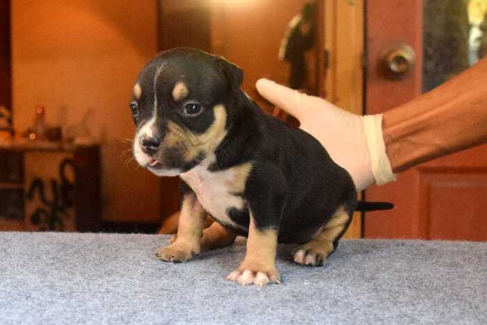 RED FLAME & YAYA - Female Bully Puppy for Sale 1