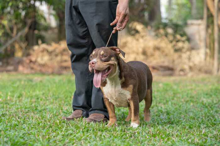 RED FLAME & YAYA - Male Bully Puppy for Sale 3