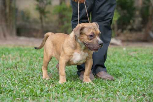 RED FLAME & YAYA - Male Bully Puppy for Sale 4