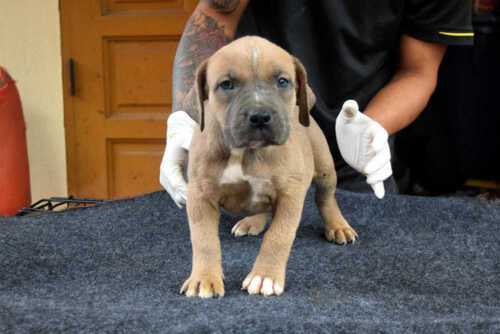 Female XXL Fawn American Bully puppy for sale - RAK & LADY RUSH
