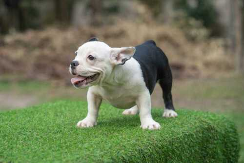 Snow King & Anna - Feale Bully Puppy for Sale - Black and White