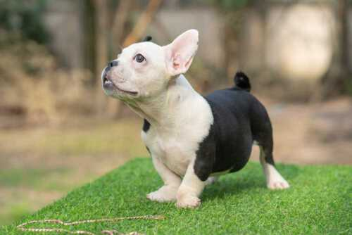 Snow King & Anna - Feale Bully Puppy for Sale 2 - Black and White