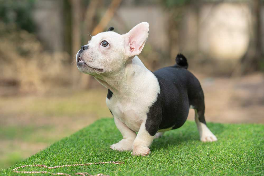 Snow King & Anna - Female Bully Puppy for Sale 2 - Black and White