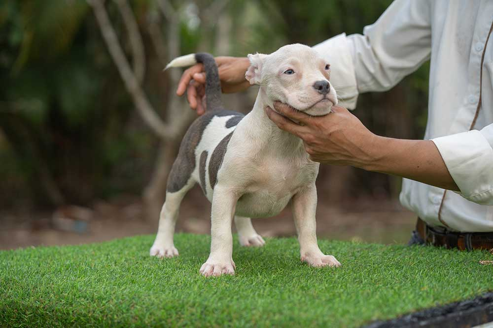 Snow King & Anna - Female Bully Puppy for Sale - White & Blue