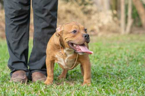 RED FLAME & YAYA - Female Bully Puppy for Sale 5