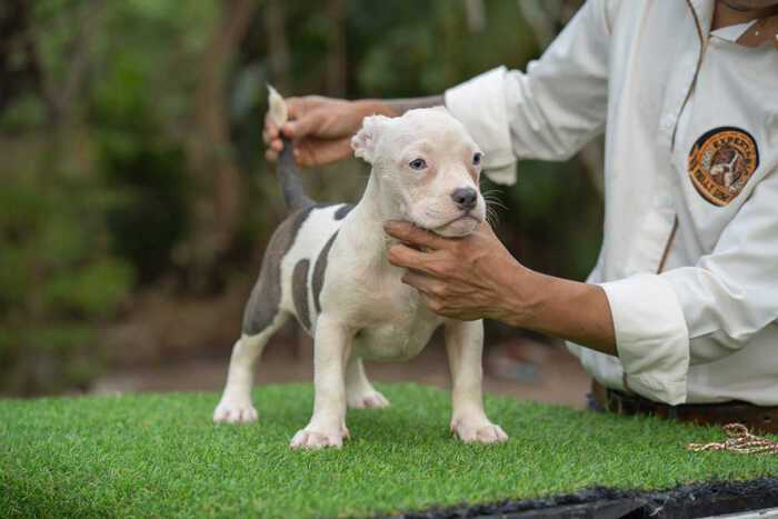 Snow King & Anna - Male Bully Puppy for Sale - Blue & White