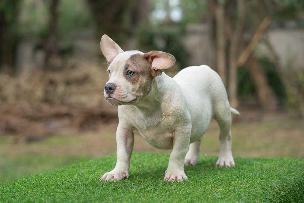 Snow King & Anna - Male Bully Puppy for Sale - WHITE PIEBALD BLUE-TRI POINT