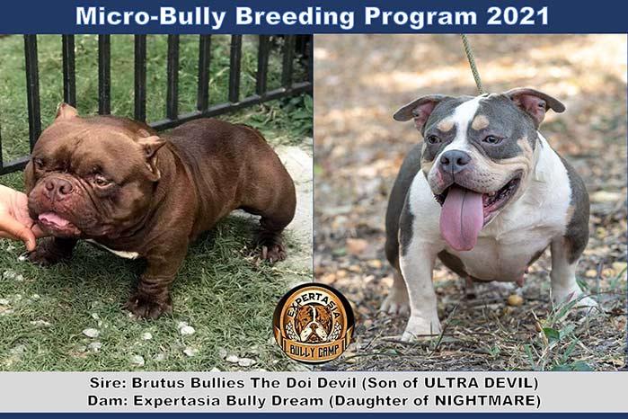 Breeding program - Expertasia Bullies - Doi Devil & Dream